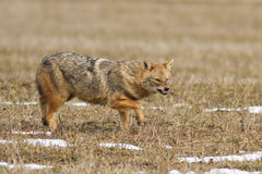 Canis mesomelas zdjęcie stock