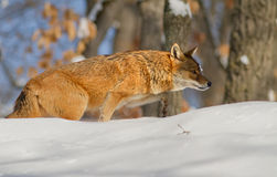 Canis mesomelas Royalty Free Stock Photos