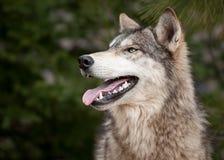 canis przyglądający lupus szalunek w górę wilka Obrazy Royalty Free
