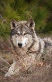 canislupus sörjer kopplar av timmer under wolf Royaltyfri Foto