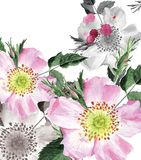 Canker-bloom. Water-colour illustration of a spring canker-bloom vector illustration
