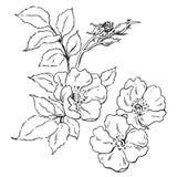 Canker-bloom. Sketch of canker-bloom. Vector illustration Royalty Free Stock Images