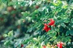 Canker la baya en baya verde de la úlcera de la baya de la úlcera de las hojas en verano imagen de archivo libre de regalías