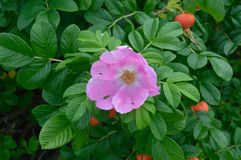 Canker rose, North, Canada Stock Photos