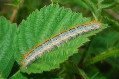 Canker worm Royalty Free Stock Images