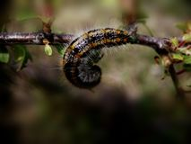 Cankerworm 免版税库存照片