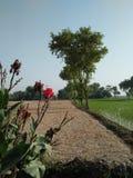 CANNA比勒陀利亚惊人的多色叶子孟加拉老虎CANNA 图库摄影