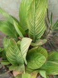 CANNA比勒陀利亚惊人的多色叶子孟加拉老虎CANNA 库存图片