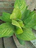 CANNA比勒陀利亚惊人的多色叶子孟加拉老虎CANNA 库存照片
