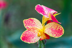 红色canna花植物