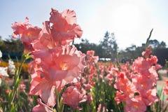 Canna花在庭院里 免版税库存图片