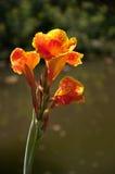 Canna花在庭院里 库存图片