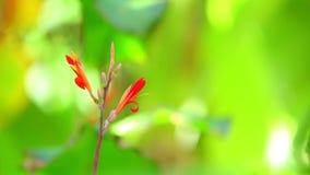 Canna κρίνων δονούμενο κόκκινο υπόβαθρο Bokeh λουλουδιών πράσινο απόθεμα βίντεο
