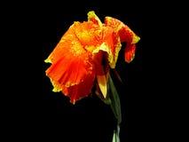 Canna, цветки индийской съемки изолированные на черной предпосылке Стоковые Изображения RF
