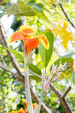 Canna цветок lilly Стоковое фото RF