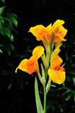 Canna Royalty Free Stock Images