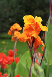 Canna Photo libre de droits