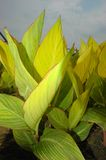 Canna. The leaf of canna in a garden china Royalty Free Stock Photos