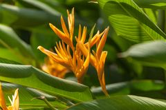 canna lilly image