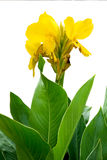 Canna amarillo Imagen de archivo libre de regalías