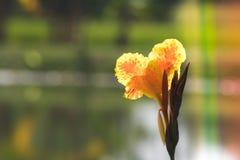 Canna amarillo hermoso lilly, planta de agua con la reflexión en una charca Fotografía de archivo