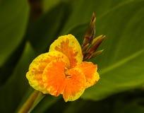 Canna ambrato giallo Immagini Stock