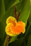 Canna ambrato giallo Fotografie Stock Libere da Diritti