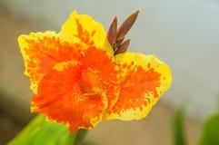 Canna ambrato giallo Fotografia Stock Libera da Diritti