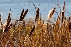 Canna, canna, attività, alta erba di autunno Immagini Stock