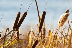 Canna, canna, attività, alta erba di autunno Fotografia Stock