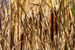 Canna, canna, attività, alta erba di autunno Fotografia Stock Libera da Diritti