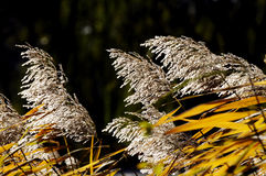 Canna in autunno Fotografia Stock Libera da Diritti
