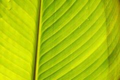 Canna Blätter Lizenzfreies Stockbild