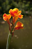 Canna blomma i trädgården Fotografering för Bildbyråer