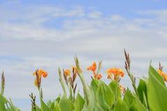 Canna blommar i trädgården, den Canna liljan arkivbild