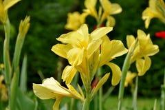 Canna blommor Royaltyfria Bilder