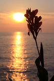 Canna Blossom Silhouette at the sundown Royalty Free Stock Images