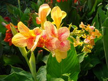 Canna chameleon Royalty Free Stock Photo