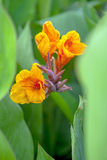 Canna. Close-up of a tropical flower canna, a  flower originating in India Royalty Free Stock Photos