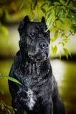 Canna Corso del cane nero Immagine Stock