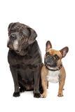 Canna Corso e bulldog francese Immagini Stock
