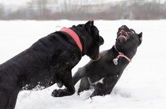 Canna Corso Gioco dei cani a vicenda immagine stock