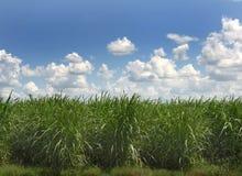 Canna da zucchero Fotografia Stock