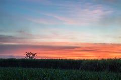canna da zucchero con il backgrou della natura di fotografia del cielo di tramonto del paesaggio Fotografia Stock Libera da Diritti