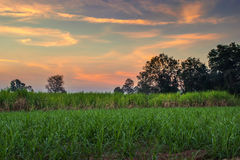 canna da zucchero con il backgrou della natura di fotografia del cielo di tramonto del paesaggio Immagine Stock Libera da Diritti