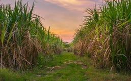 canna da zucchero con il backgrou della natura di fotografia del cielo di tramonto del paesaggio Immagini Stock Libere da Diritti