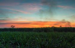 canna da zucchero con il backgrou della natura di fotografia del cielo di tramonto del paesaggio Immagini Stock