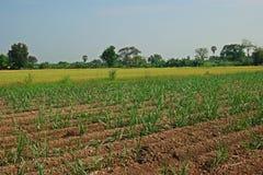 Canna da zucchero del campo di agricoltura e riso, il raccolto misto Immagine Stock Libera da Diritti