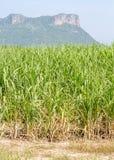Canna da zucchero del raccolto Fotografia Stock Libera da Diritti