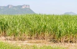 Canna da zucchero del raccolto dell'azienda agricola Fotografie Stock